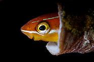 Plagiotremus tapeinosoma (Mimic blenny)