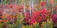 Panoramic view of the beautiful Fall colors found along the Alpine Loop in Utah's Wasatch Mountains.