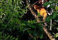 Proboscis monkey, Nasalis larvatus, climbing a tree, Sabah, Malaysia