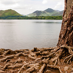A tree with prominent roots at one of the many stunning viewpoints on Lake Windermere in the Lake district, UK