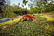 Augustine Calicho, 45, separates the seeds from dried coca leaves in Villa Tunari in the Chapare region of Bolivia.