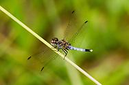 Little Blue Dragonlet (Erythrodiplax minuscula) - male<br /> United States: Alabama: Tuscaloosa Co.<br /> Tulip Tree Springs off Echola Rd.; Elrod<br /> 30-Aug-2016<br /> J.C. Abbott #2861