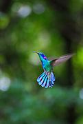 A green violetear hummingbird frozen in flight in Monteverde, Costa Rica.