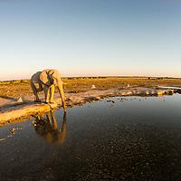 Africa, Botswana, Nxai Pan National Park, Aerial view of Bull Elephant (Loxodonta africana) drinking at artificial water hole in Kalahari Desert at sunset