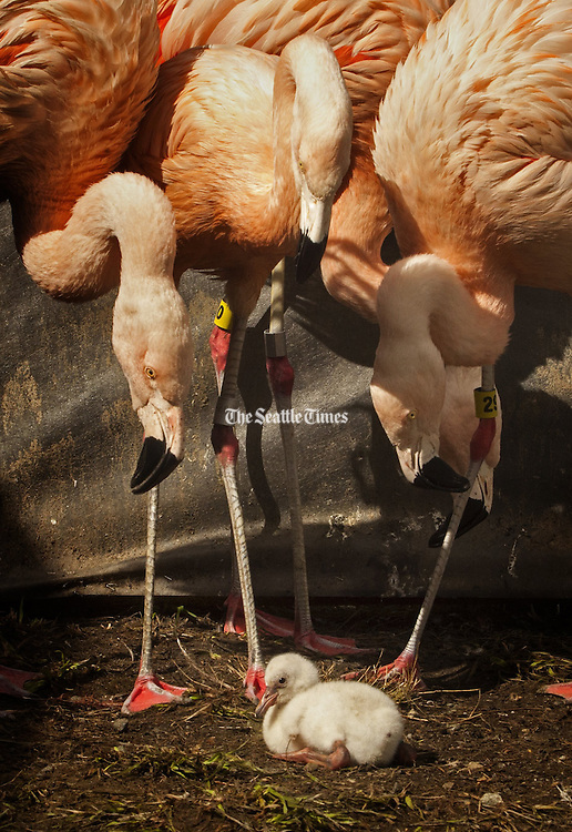 Flamingo parents check out the runt of the chicks that were born at the Woodland Park Zoo in Seattle. Most of the flamingos at the zoo are more than 36 years old — they can live for around 70 years. (Ellen M. Banner / The Seattle Times)