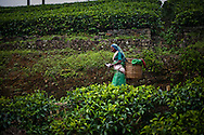 A tea pluckers carries her harvest through the fields of the the Hollyroad Estates tea plantation near the town of Hatton in central Sri Lanka December 14, 2009.  Pluckers have a target of picking 16 kilograms of the leaves bu on average pick between 25-28 kilograms which will earn them about $5 per day.