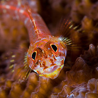 Coral Goby on Hard Coral