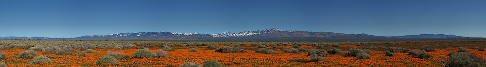 Fields of California poppies , Eschscholzia californica, with the snow-capped Tehachapi Mountains in the background.