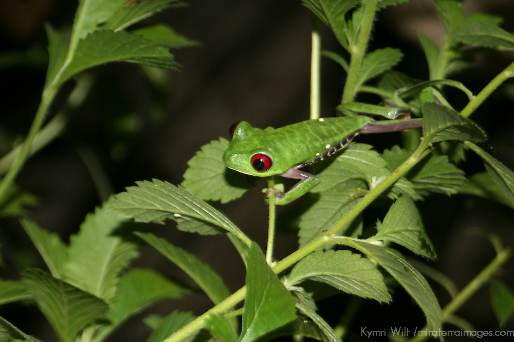 Central America, Costa Rica, Osa. A Red-Eyed Tree Frog of Costa Rica.