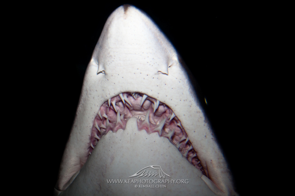 Because of its fearsome appearance, this harmless fish-eating Grey Nurse Shark was once killed indiscriminately as a suspected man-eater.  Sharks have an endless supply of teeth.  When one falls out, another grows in to replace it.  A shark may go through 10,000 teeth in a lifetime!