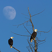 Two bald eagles roost in a bare tree in Washington's Skagit Valley as the nearly full moon rises behind them. Hundreds of bald eagles winter in the Skagit Valley where they can feast on spawned out salmon in the Skagit River.