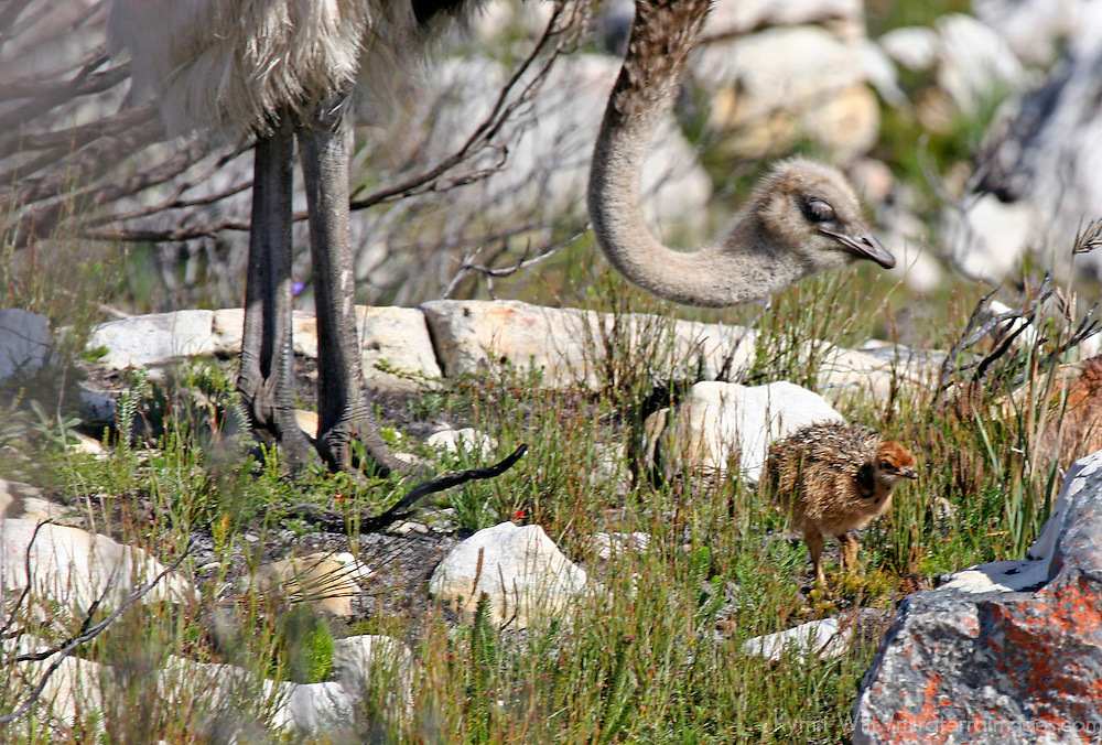 Africa, South Africa, Cape of Good Hope.  Mother ostrich looks after her chick.