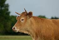 11/06/14 - ORLEAT - PUY DE DOME - FRANCE - Vache Limousine - Photo Jerome CHABANNE