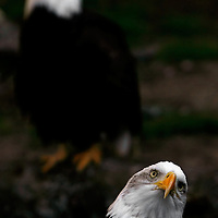 """HOMOSASSA, FL -- January 5, 2009 -- A pair of bald eagles sit in their enclosure at the Homosassa Springs Wildlife State Park in Homosassa, Fla., on Monday, January 5, 2009.  The 180-acrepark is built into the natural surroundings, giving visitors a glimpse at wildlife in their natural setting - including the """"Fishbowl,"""" which is a natural spring with and underwater viewing area.  (Chip Litherland for The New York Times)"""