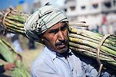 Pakistan: Sugar Harvest