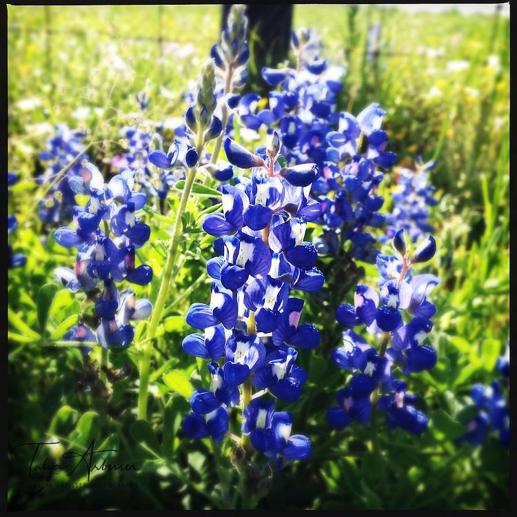 Bluebonnets - Waller, Texas