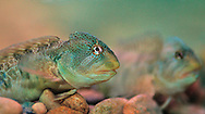 Fluvial fresh water blenny (Salaria fluviatilis), a species closely related to the endangered fresh water mussel  Margaritifera auriculariais. Life cycle of the mussel requires a fish, such as the Glochidium parasiticum., Experiments for captive breeding of the mussel  are being done with native fish species Salaria fluviatilis (blenny), but also trials are being conducted with Acipenser sturio.