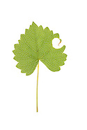 Muscadine leaf (Vitis rotundifolia) with Leaf-cutter Bee cut (Megachile sp), South Carolina, USA. The leaf is used to line the nest of the leaf-cutter bee.
