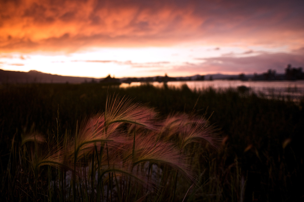 Squirrel Tail Grasses, which grow along the shores of Mono Lake, reflect against the Vermillion Sky