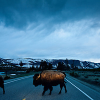 USA, Wyoming, Yellowstone National Park, Bison Herd steps into car headlights while crossing park road at dusk on spring evening