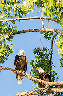 Bald Eagles, nesting pair, (Haliaeetus leucocephalus), Yellowstone River, east of Fairview Montana, near its confluence with the Missouri