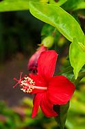 Koki'o 'ula ( Hibiscus koki'i subsp. koki'o) is an endemic hawaiian hibiscus. This one thrives in Maui at the Kula Botanical Garden.