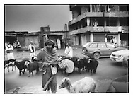 Shepherd leads his flock across Jad-e Maiwand, Kabul, Afghanistan.