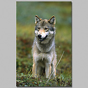 Alaska. Wolf (Canis lupis) on fall tundra. Female 85-130 lbs 28 inches @ shoulder.