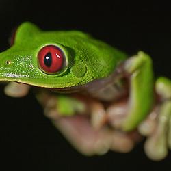 Leaf frog (Hylidae) of the genus Agalychnis, found during mating season in the Choco rainforest at Bilsa Biological Station, Mache-Chindul-Reserve, Ecuador - Laubfrosch aus der Gattung Agalychnis während der Paarungszeit im Choco Regenwald der Biologischen Station Bilsa im Mache-Chindul-Reservat, Ekuador