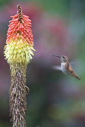 A hummingbird hovers near a Red Hot Poker (Kniphofia uvaria) Torch Lily in bloom