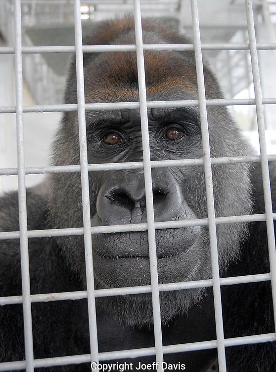 Joe in his cage at Gorilla Haven in North Georgia