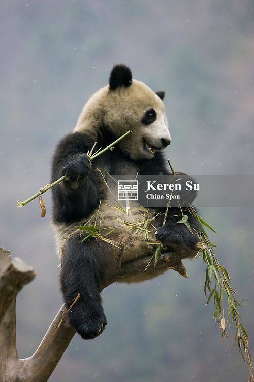 Giant panda eating bamboo on tree, Wolong Panda Reserve, Sichuan, China