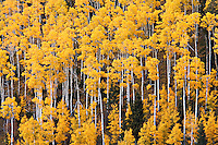 Autumn color in the Carson National Forest near Red River, New Mexico.