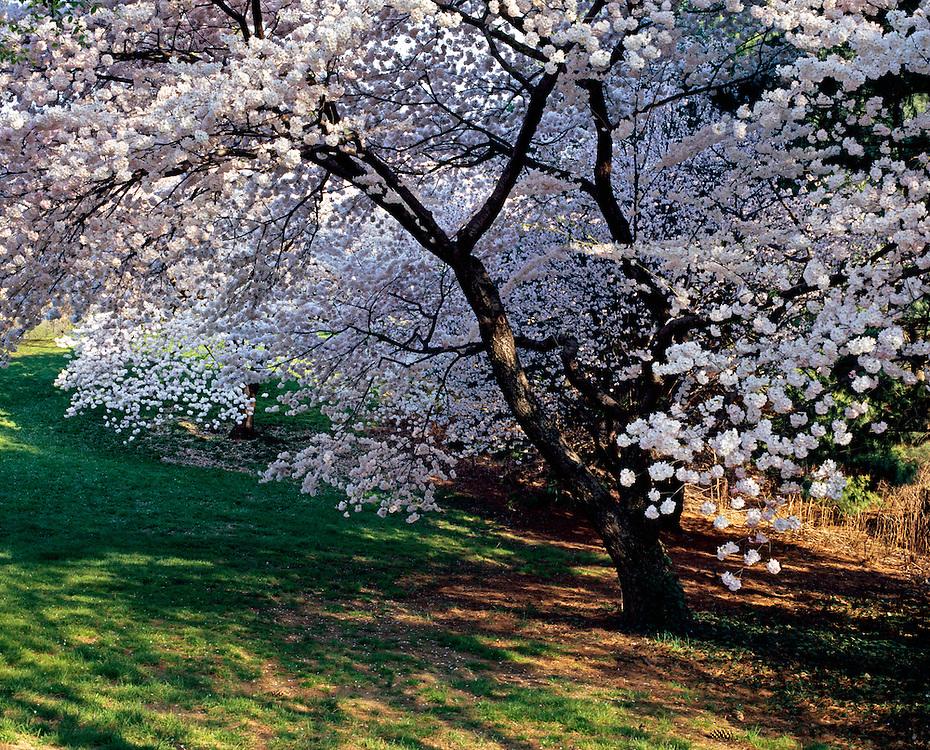 Cherry Blossoms New York Botanical Gardens Bronx New York Jake Rajs Photography