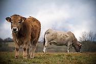 23/12/16 - BADAILHAC - CANTAL - FRANCE - Taurillon Aubrac sur les estives du Cantal - Photo Jerome CHABANNE