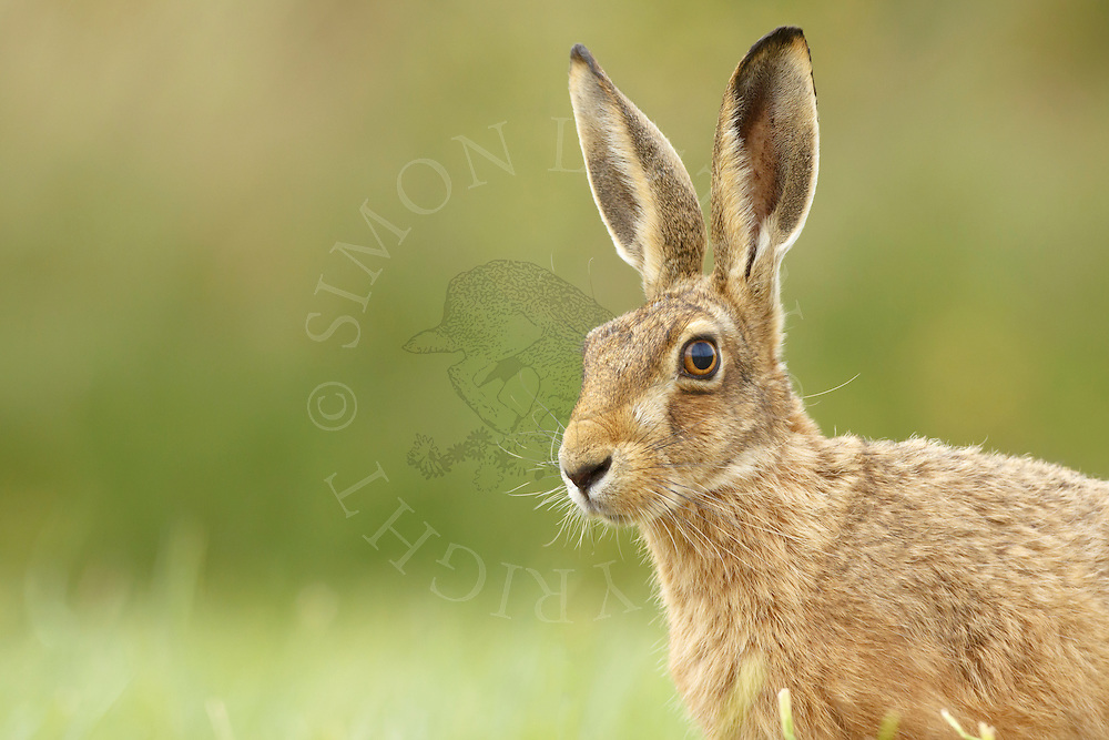 European Hare (Lepus europaeus) adult on grass margin, close up of head, South Norfolk, UK. July.