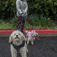 Napa County Fairgrounds Program Supervisor Monica Garibay walks with her dogs, Benjie and Lola, on a rainy day in Calistoga