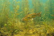 Black Bullhead with eurasian water milfoil<br /> <br /> ENGBRETSON UNDERWATER PHOTO