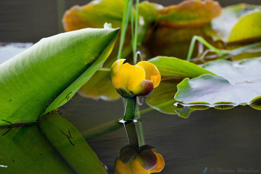 Yellow pond lilly in a wetland at Eaglemount, near Chimacum, Washington