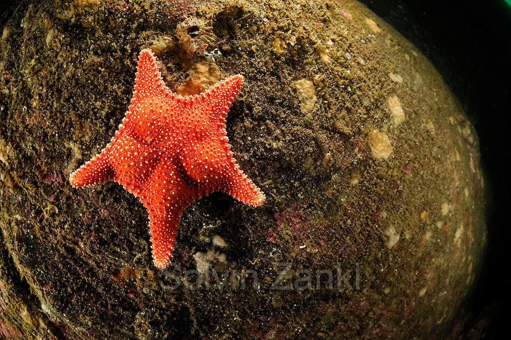 Sea star (Hippasteria phrygiana), Atlantic Ocean, Strømsholmen, North West Norway |  Atlantischer Ozean, Strømsholmen, Nordwestküste von Norwegen