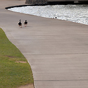 The concrete running path along the pond at Tempe's Kiwanis Park is not just for humans, as 2 ducks were spotted running the path themselves.