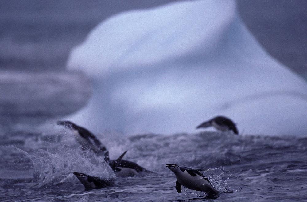 Antarctica, Deception Island, Chinstrap penguins (Pygoscelis antarctica) porpoise past iceberg while swimming at Bailey Head