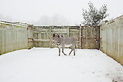 "A Grevy's zebra named ""Elvis"" stomps in the snow of his outdoor pen at The Wilds in Cumberland, Ohio on February 27, 2007. Situated on 10,000 acres of reclaimed strip mine land, The Wilds is a research and conservation facility for rare and endangered animals. During the warmer months animals are allowed to roam freely but in the winter are kept in heated indoor pens."