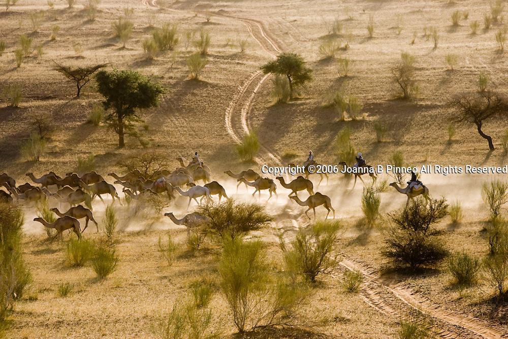 A camel caravan travels north through the savannah near El Obeid, Sudan. 150,000 camels travel to Egypt yearly.