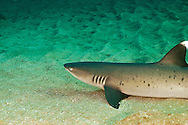 White-tip Reef Shark, Triaeonodon obesus, (Rüppell, 1837), Maui, Hawaii