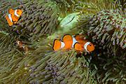 False Clown Anemonefish (Amphiprion ocellaris) &amp; Magnificent Sea Anemone (Heteractis magnifica)<br /> Raja Ampat<br /> West Papua<br /> Indonesia