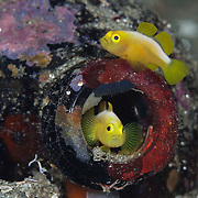 Pair of Dinah's gobies (Lubricogobius dinah) with their beer-bottle home, at Observation Point in Milne Bay Province, Papua New Guinea