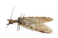 Dobsonfly (Cordydalus cornutus) - female<br /> ARKANSAS: Polk Co.<br /> Ouachita National Forest; Rich Mountain off Hwy 18<br /> 1-3.July.2015<br /> J.C. Abbott #2762 &amp; K.K. Abbott