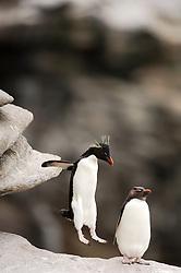 Der kleine Traum vom Fliegen: Felsenpinguine (Eudyptes chrysocome) sind mutig und gewandt im felsigen Terrain unterwegs.| A penguin' s flight: unafraid the rockhopper penguins (Eudyptes chrysocome) move  in the rocky terrain, daring even big jumps.