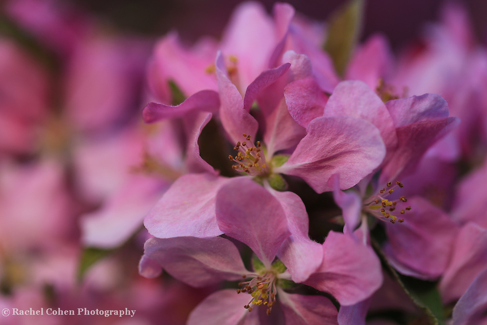 &quot;Feel the Love&quot;<br /> <br /> Simply scrumptious deep pink crab-apple blossoms in spring!